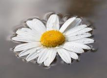 Flor de la margarita en el agua Fotografía de archivo