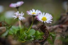 Flor de la margarita en el campo con las hojas de la muerte, cierre para arriba fotos de archivo