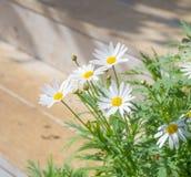 Flor de la margarita en el parque Fotos de archivo libres de regalías