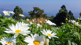Flor de la margarita en el punto de visión escénico Foto de archivo