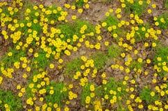 Flor de la margarita en el suelo seco Imagen de archivo