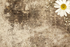 Flor de la margarita en fondo de madera Fotos de archivo libres de regalías