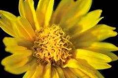 Flor de la margarita en fondo negro fotografía de archivo libre de regalías