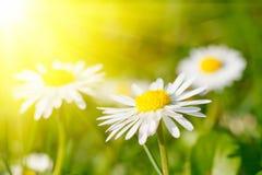 Flor de la margarita en hierba Fotos de archivo