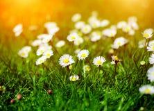 flor de la margarita en jardín Imagenes de archivo