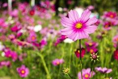 Flor de la margarita en jardín - flores y plantas Fotografía de archivo libre de regalías