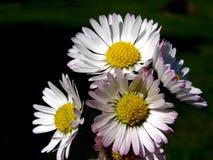 Flor de la margarita en la falta de definición fotos de archivo libres de regalías