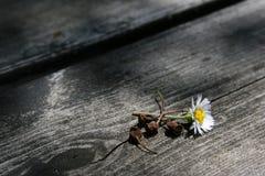 Flor de la margarita en la madera fotos de archivo