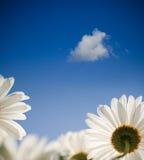 Flor de la margarita en resorte Foto de archivo