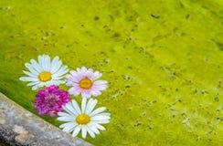 Flor de la margarita en un lavabo del agua dulce en un balneario Foto de archivo libre de regalías