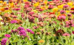 Flor de la margarita en verano Fotografía de archivo