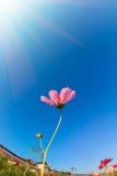 Flor de la margarita por la mañana Foto de archivo