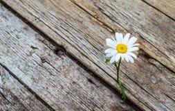 Flor de la margarita que se coloca solamente Fotos de archivo
