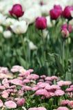 Flor de la margarita y del tulipán Foto de archivo libre de regalías