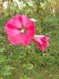 Flor de la melcocha Imágenes de archivo libres de regalías
