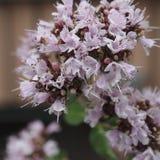 Flor de la menta en primer macro Fotos de archivo