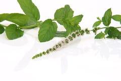 Flor de la menta verde Imagen de archivo libre de regalías