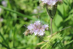 Flor de la miel Foto de archivo