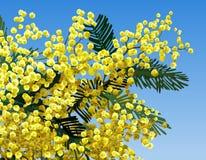 Flor de la mimosa Imágenes de archivo libres de regalías