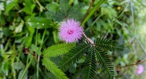 Flor de la mimosa de Pudica Foto de archivo