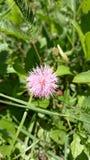 Flor de la mimosa Pudica y x28; Makahiya Plant& x29; fotos de archivo libres de regalías