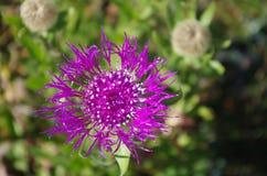 Flor de la montaña Foto de archivo libre de regalías