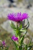 Flor de la montaña Fotografía de archivo