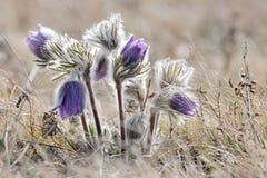 Flor de la montaña de la anémona alpestre fotos de archivo