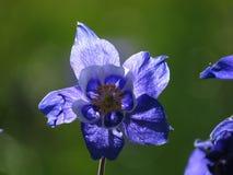 Flor de la montaña después de la lluvia fotografía de archivo libre de regalías