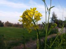 Flor de la mostaza imagen de archivo libre de regalías