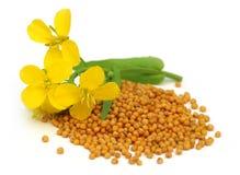 Flor de la mostaza con las semillas Imagen de archivo