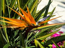 Flor de la naranja salvaje fotografía de archivo libre de regalías