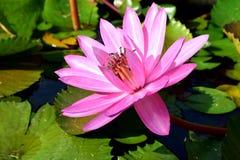 flor de la naturaleza del loto Imágenes de archivo libres de regalías
