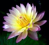 flor de la naturaleza del loto Foto de archivo