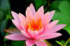 flor de la naturaleza del loto Fotos de archivo libres de regalías
