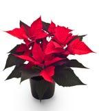 Flor de la Navidad Imagenes de archivo