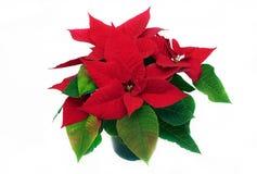 Flor de la Navidad Imagen de archivo libre de regalías