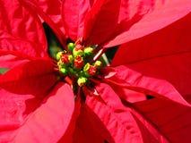 Flor de la Navidad Foto de archivo