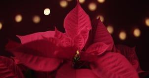 Flor de la Navidad con las luces alrededor metrajes