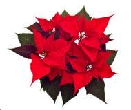 Flor de la Navidad de los Poinsettias Imagen de archivo