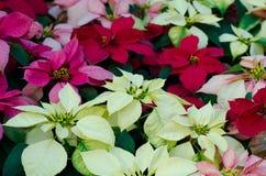 Flor de la Navidad o de la poinsetia Imagen de archivo