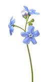 Flor de la nomeolvides en blanco Fotografía de archivo libre de regalías