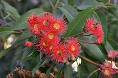 Flor de la nuez de la goma Foto de archivo