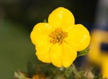 Flor de la onagra (Oenothera Biennis) Foto de archivo libre de regalías