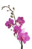 Flor de la orquídea Fotos de archivo