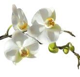 Flor de la orquídea Imagen de archivo