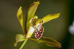Flor de la orquídea imagenes de archivo