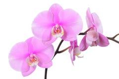 Flor de la orquídea Fotos de archivo libres de regalías