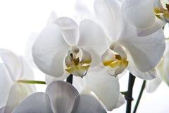 Flor de la orquídea aislada Imagen de archivo libre de regalías