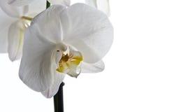 Flor de la orquídea aislada Foto de archivo libre de regalías